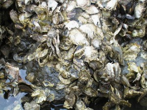 The eastern oyster formed massive reefs that used to filter the waters of the Chesapeake Bay. (Virginia Department of Environmental Quality)