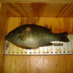 Redbreast sunfish with Aeromonas salmonicida lesion above pectoral fin.